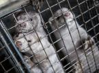 Europa zakazuje hodowli zwierząt futerkowych. Co dzieje się na polskich fermach?