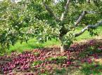 Co zrobić z owocami z drzewa sąsiada - nie działając wbrew prawu