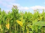 Rząd ignoruje interesy rolników: Uprawa tytoniu w Polsce jest zagrożona