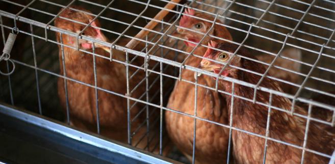 Minął miesiąc odkąd polscy producenci drobiu na dobre uporali się z ptasią grypą.